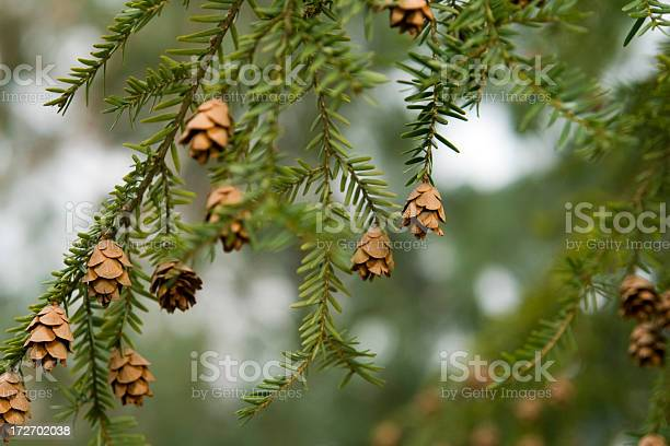 Photo of Canadian Hemlock branches with seed cones (Tsuga canadensis)