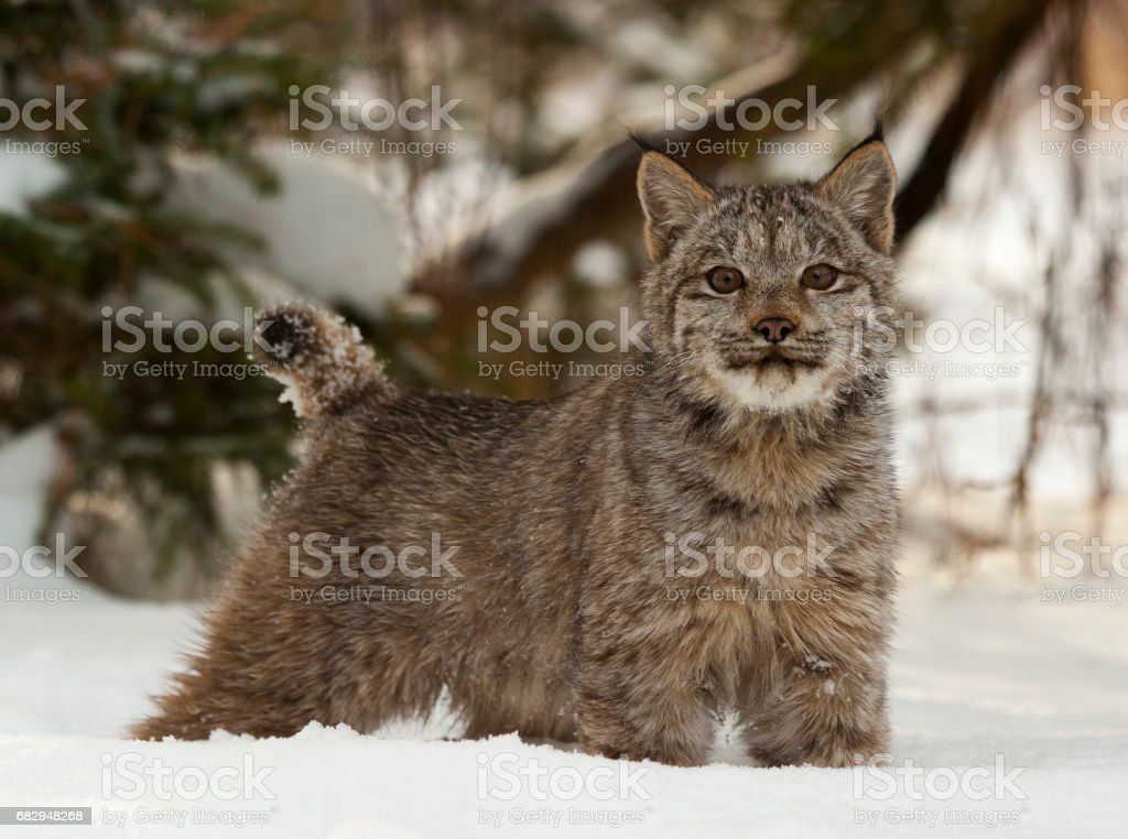Canadian lynx in deep snow with pine trees behind royalty-free stock photo