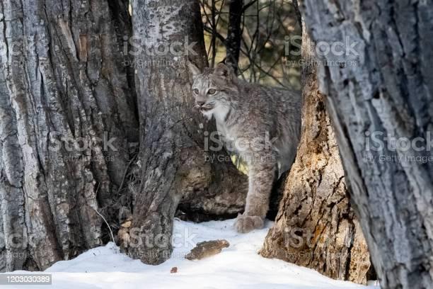 Canadian lynx picture id1203030389?b=1&k=6&m=1203030389&s=612x612&h=5aeutpefjdrl yoqsknbntqp lxe7fytxtrtgmfyc08=