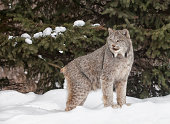 Portrait of a canadian lynx standing in the snow, with pine trees in the background.
