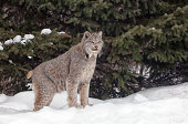 Portrait of Canadian Lynx in the snow with pine trees in the background.