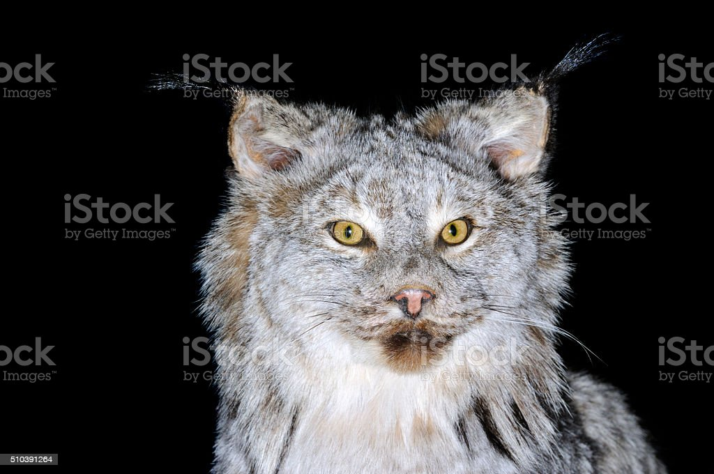 Canadian Lynx stock photo