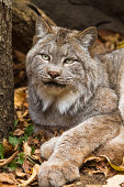 Canadian lynx lying in autumn Minnesota setting. (Lynx Canadensis)See more of my wildlife images below.