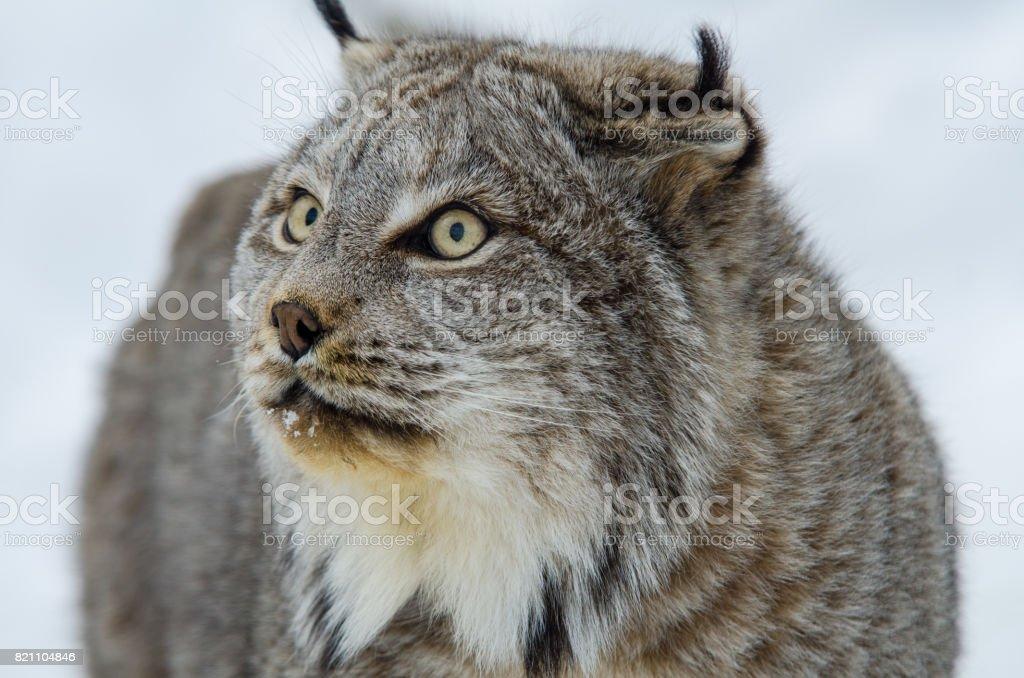 オオヤマ ネコ カナダ