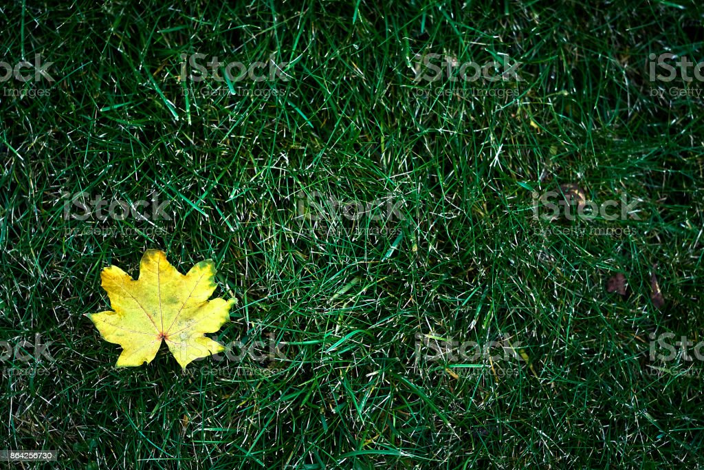 Canadian maple Acer yellow leaf on autumn lawn royalty-free stock photo