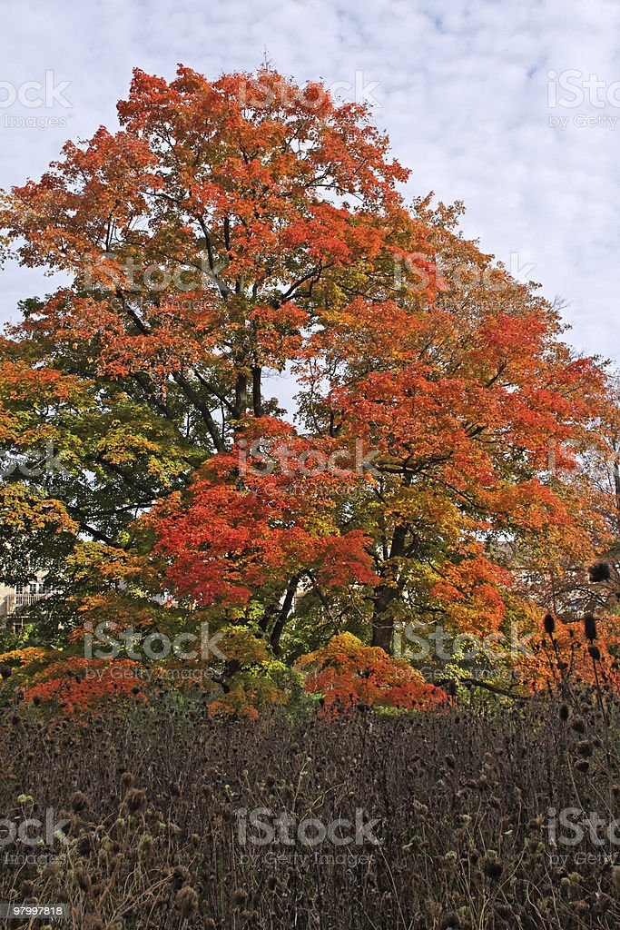 Canadian Maple in the fall royalty-free stock photo