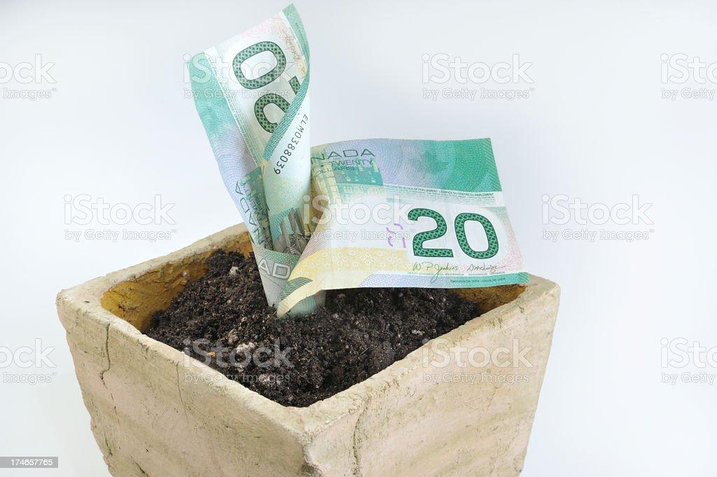 Canadian Money Plant. royalty-free stock photo