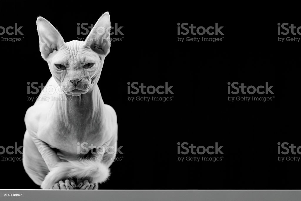 Canadian Sphinx Hairless Cat stock photo