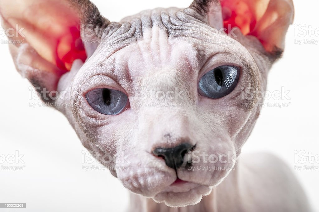 Canadian Sphynx cat portrait close-up royalty-free stock photo