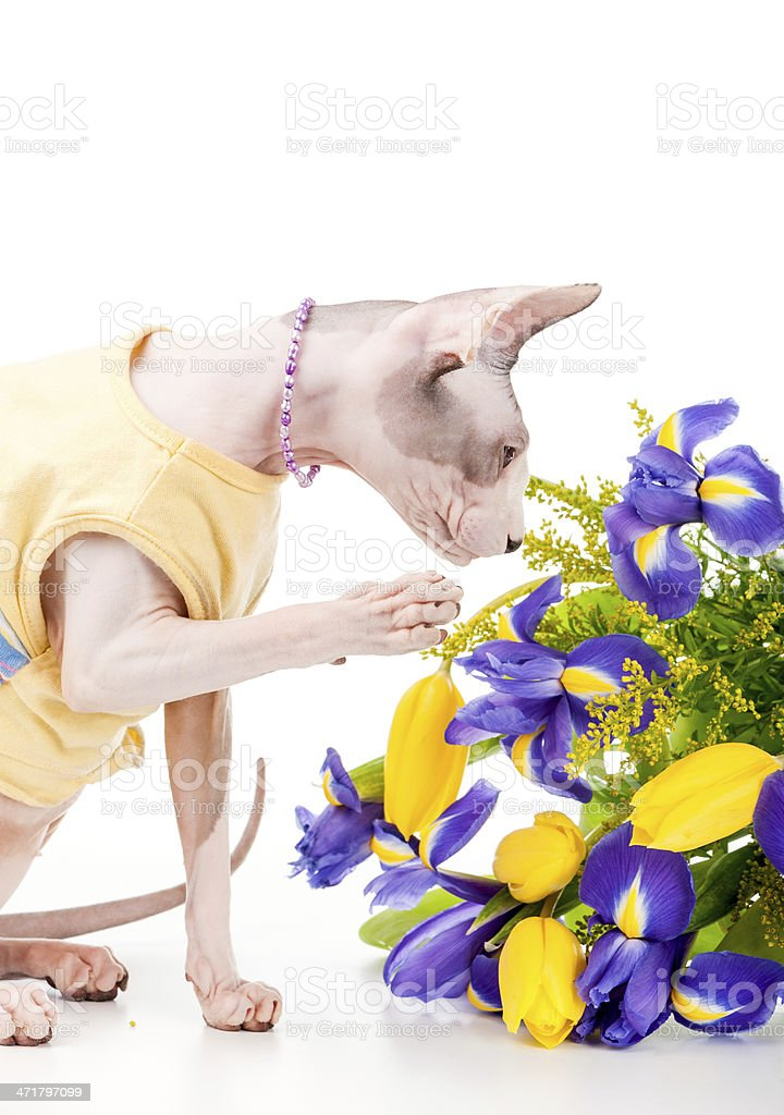 Canadian Sphynx Cat With Bouquet Of Spring Flowers Stock Photo ...