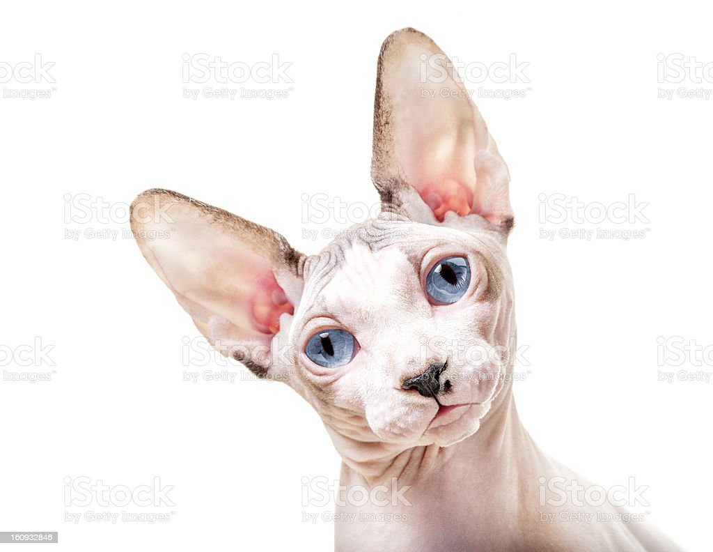 Canadian Sphynx cat with tilted head stock photo