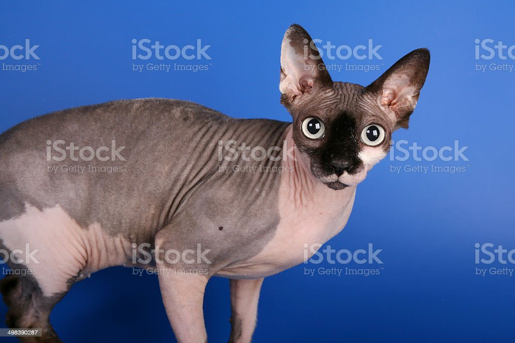 Canadian sphynx, hairless cat, on blue background, staring the camera stock photo