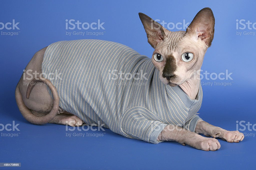 Canadian sphynx, whole body,hairless cat in grey cardigan stock photo
