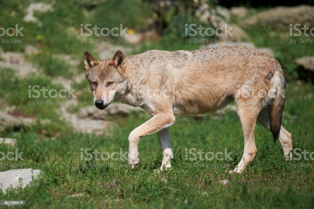 Ein kanadischer Timberwolf im Sommer stock photo