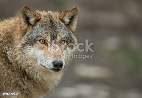 Portrait of a beautiful canadian timberwolf.