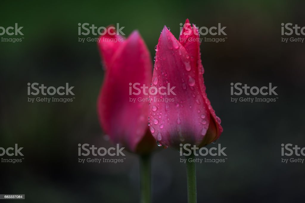 Canadian Tulips Festival royalty-free stock photo