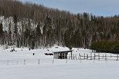 Paysage de Lanaudière, Québec, en hiver, avec des animaux de ferme.
