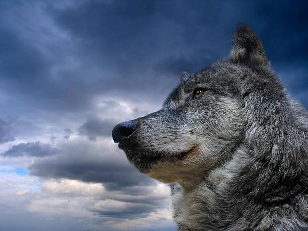 Kanadischer Wolf – Foto