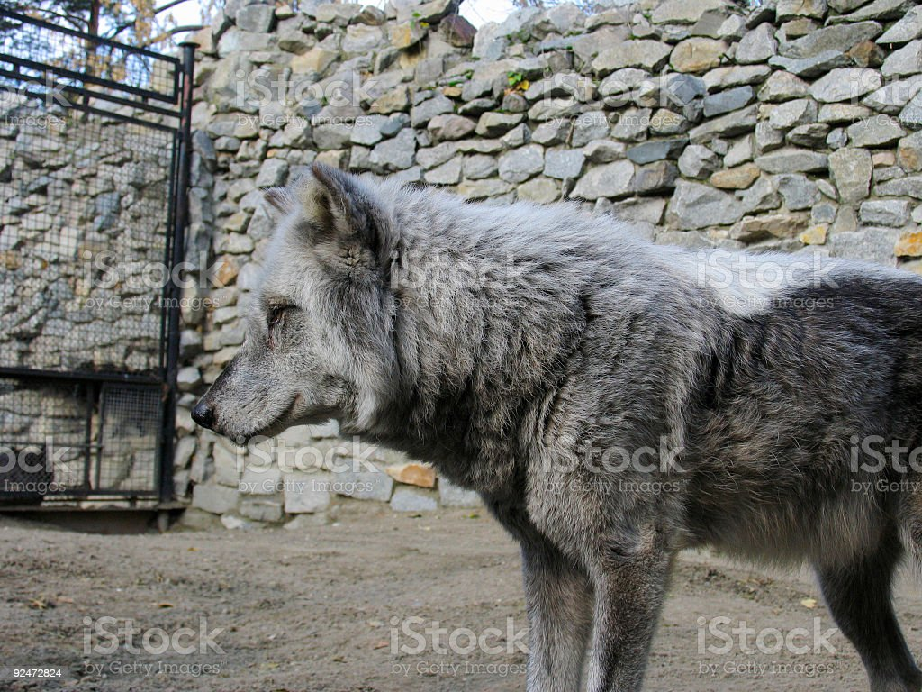 Canadian Wolf royalty-free stock photo