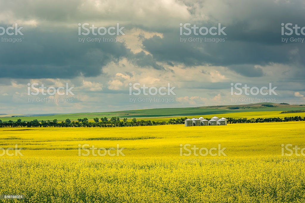 Canadian Yellow Canola Field stock photo