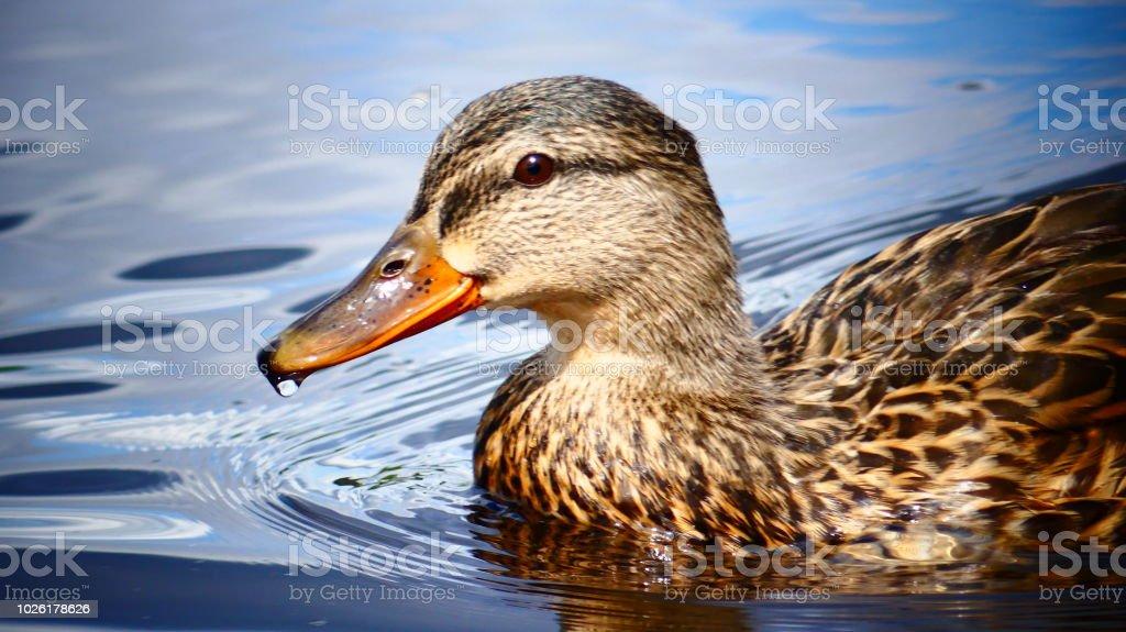 Canard colvert ou mallard stock photo