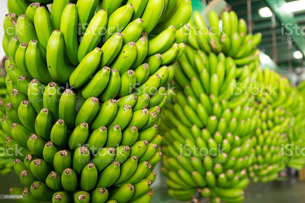 Canarian Banana Platano in La Palma stock photo