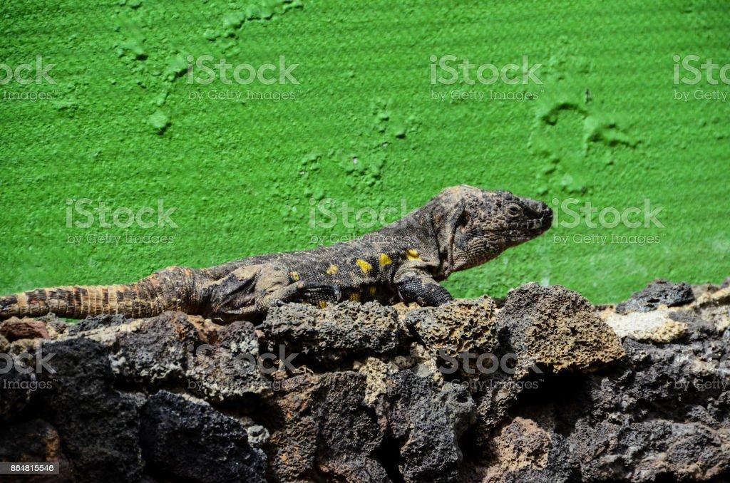 Canarian Lizard stock photo