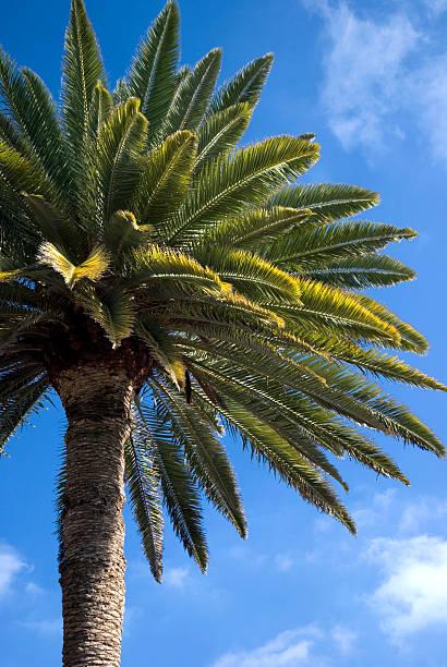 Kanarische Palm 2 – Foto