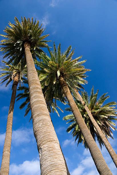 Kanarische Palm 3 – Foto