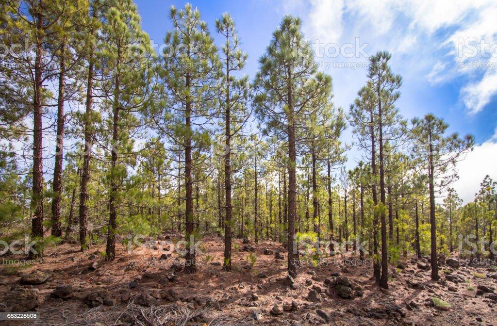 Canarian pines 免版稅 stock photo