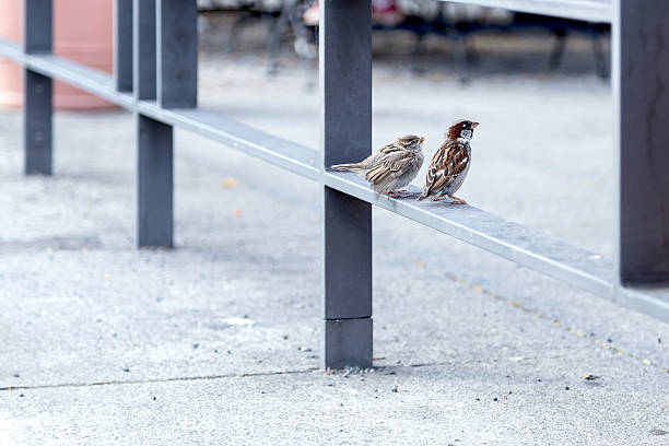 Canaries on a railing stock photo