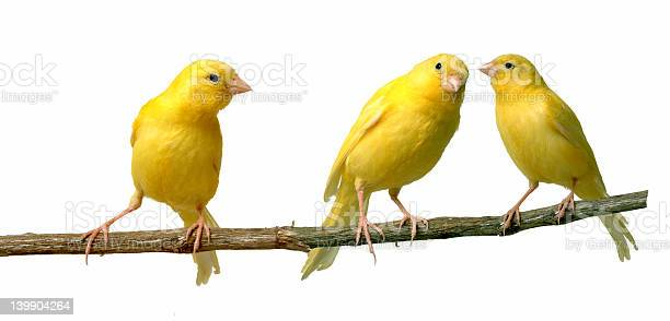 Canaries picture id139904264?b=1&k=6&m=139904264&s=612x612&h=sohgt1hmkpvcydu 2llrrj3upftorvefvsfkzye23q4=