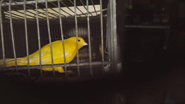 canari en cage - canari photos et images de collection