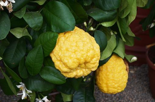 Canarone lemon