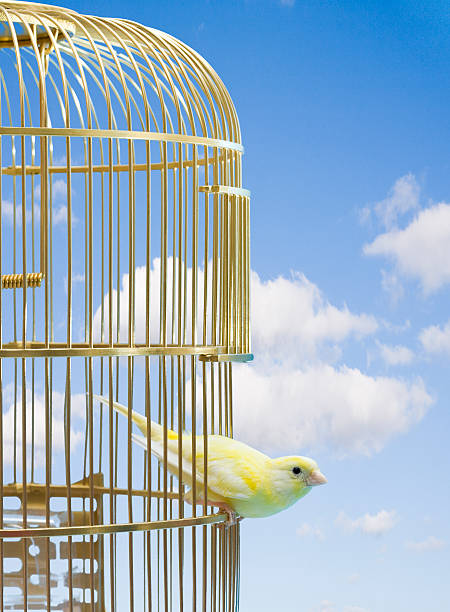 Canary bird escaping from cage stock photo