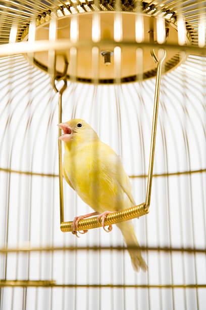 canary bird inside cage - canari photos et images de collection