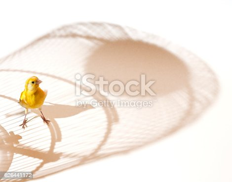 Canary bird outside cage