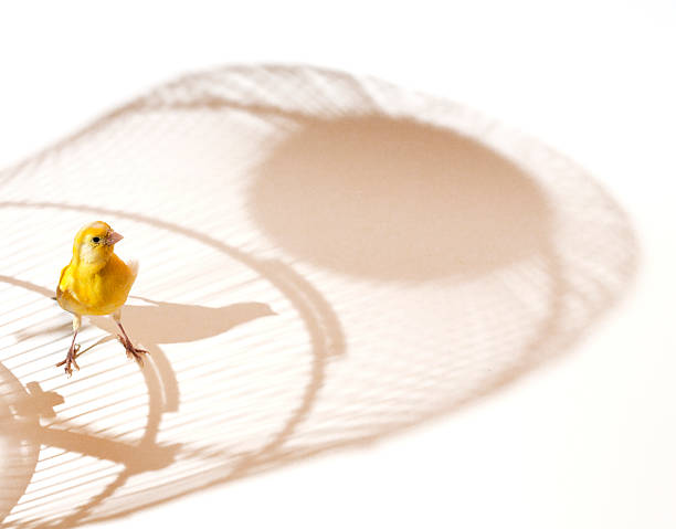 canary bird outside cage - animals in captivity stock pictures, royalty-free photos & images