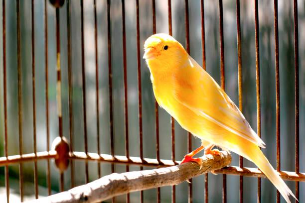 canari oiseau - canari photos et images de collection