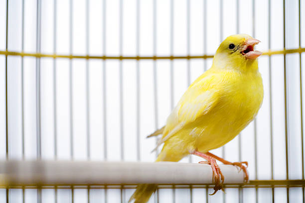 canary bird singing inside cage - canari photos et images de collection