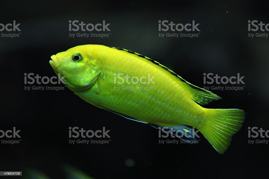 Canary cichlid (Labidochromis caeruleus) stock photo