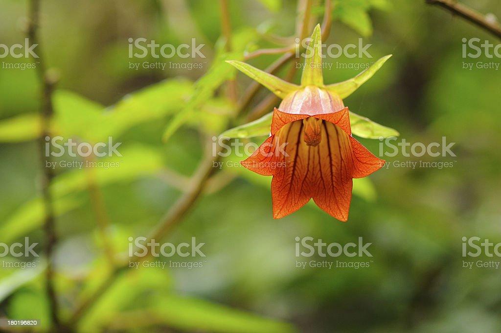 Canary island bellflower (Canarina canariensis) royalty-free stock photo