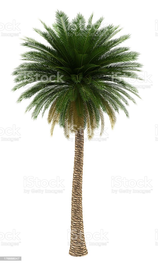 canary island date palm tree isolated on white background royalty-free stock photo