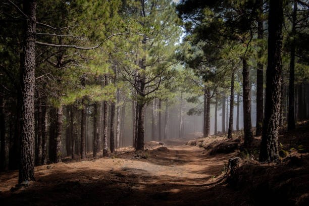 Canary Island Pines in a forest at Ruta de los Volcanes, Cumbre Vieja, La Palma, Spain. stock photo