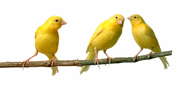 Canary Islands Two canaries communicating to each other while a third is listening perching stock pictures, royalty-free photos & images