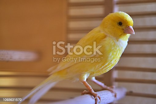 Canary in a wooden cage
