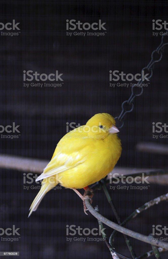 canary royalty-free stock photo