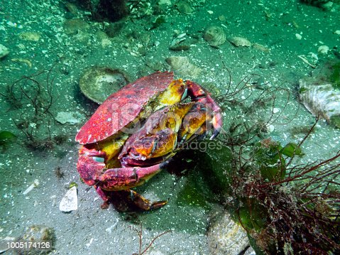 Mating Red Rock crabs photographed in southern British Columbia.