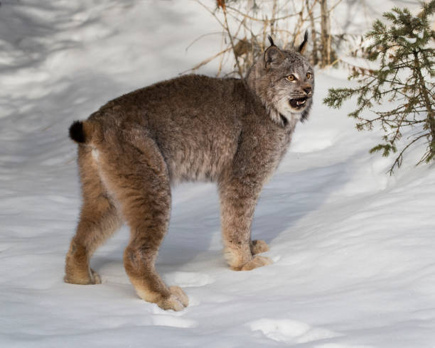 Canda Lynx baring his teeth, perhaps  in annoyance at all the attentioln stock photo