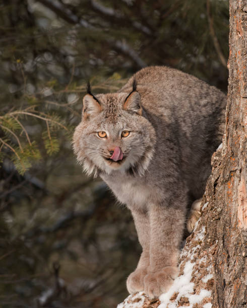 Canda Lynx sticking his tongue out at the photographer stock photo